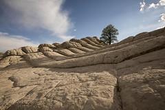 Alone... (gerstat) Tags: white pocket az lone tree sandstone david swindler action photo tours mar 2017 mark mittlestat