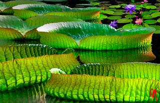 Phot.Beijing.Waterlily.Beihai.Park.01.100803.4619.jpg