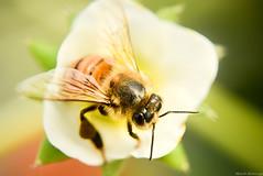 みつばちちゃん🐝 / bee (March Hare1145) Tags: 日本 japan bee 蜂 insect 虫 マクロ macro