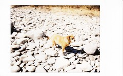 dog on the rocks (buttercup caren) Tags: instax instantfilm fujifilm neo90 rocks riverbed bleached sunsoaked dog littledog grace