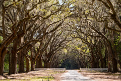 Savannah (Jon Ariel) Tags: wormsloe oakalley southernoak savannah ga georgia trees liveoak oak alley