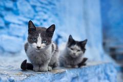 Chefchaouen Kittens (Dom_Walker) Tags: chefchaouen kittens blue city morocco sony a7 konica hexanon 50mm f14