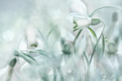 awakening... (Weirena) Tags: spring nature weirena flowers fineart fineartphotography seasons ireneweisz inspiring poetry wallart snowbells white blossoms textured