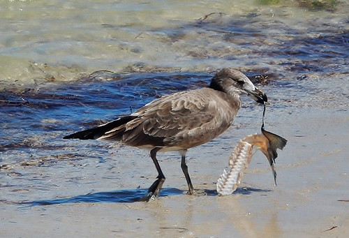 Young Gull Finds Breakfast
