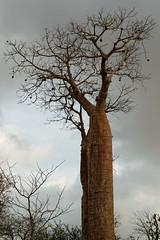 DSC07556_DxO_Bildgröße ändern (Jan Dunzweiler) Tags: madagaskar africanbikers reniale renialareserve jandunzweiler baobab affenbrotbaum