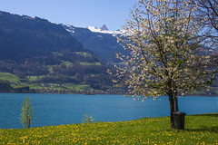 Spring at the Walensee (.hd.) Tags: spring frühling walensee wiese see lake mountians outdoor landscape landschaft blossoms cherry kirschblüten