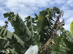 Banana: Boron (B) deficiency (mild, incipient) (Scot Nelson) Tags: banana boron b deficiency musa
