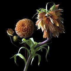 Dahlia & Frittilaria Imperialis (Pixel Fusion) Tags: dahlia frittilaria imperialis flower flora nature macro nikon d600