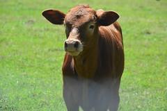 A curious little guy I came across (Schnauzergal) Tags: nikon d5200 calf cattle closeup