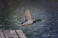 (royvenegas) Tags: bird nature flying georgeous
