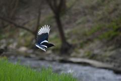 Elster - pica pica (krueesch) Tags: picapica magpie blackbilledmagpie rabenvogel vögel vogel birds bird elster