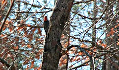Red Bellied Woodpecker (Bella Lisa) Tags: redbelliedwoodpecker woodpecker