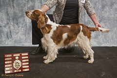 Yearling Bitch - Cherryheath's Miss Velocity JW. (evinrisca) Tags: welshspringerspaniel wales chepstow championship dogshow welshie spaniel champshow