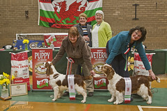 Best in Show Lineup (evinrisca) Tags: welshspringerspaniel wales chepstow championship dogshow welshie spaniel champshow