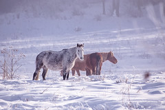 Horses stay and eat herb in the snowy woods in winter (♥Oxygen♥) Tags: winter snow horse white animal field active outside freedom beautiful nature outdoor forest mist meadow mammal wood croup standing pasture color cold farm ranch frost trees hills pride ice countryside rural glazed proud altay fog relax village altai russia snowy frozen landscape calm wild travel freeze season environment calendar fairytale