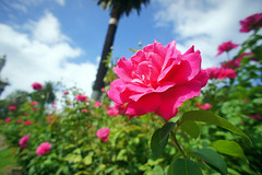 Rose (akituki**) Tags: rose floral flower flowers australia roses plants green sky sunnyday sunny clouds バラ 薔薇 オーストラリア