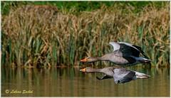 Double Decker! (lukiassaikul) Tags: wildlifephotography wildanimals birds wildbirds largebirds goose geese greylaggoose uk fly flight wings birdsinflight urbanwildlife weststow naturereserve
