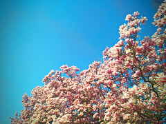 (m r z l t n) Tags: magnolia tree nature lily spring springtime flower flowers sky sun sunshine sunset sunrise city citylife life hungary