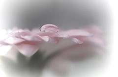 You are not a drop in the ocean, you are the intire ocean in a drop [Rumi] (hannievdv_macrofotografie) Tags: inexplore art waterdrop canon sweetness sweet flower drop light closeup dof macro