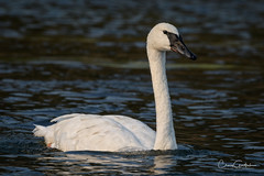 Simple Elegance (craig goettsch) Tags: yellowstonenp wyoming trumpeterswan bird avian nature wildlife river water nikon d500 yellowstoneriver