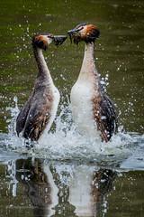 Great Crested Grebes Dancing (Nick.a.Seddon) Tags: uk wildlife penningtonflash spring grebes dancing greatcrestedgrebe