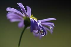 Joyeuses Pâques à tous (Callie-02) Tags: couleurs bokeh canon profondeurdechamp extérieur jardin goutte drop fleur