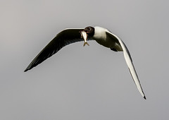 Daw End Branch Canal-104.jpg (andy_click) Tags: black headed gull