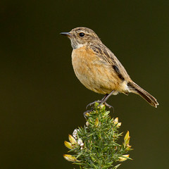 Female Stonechat (markwright12002) Tags: may dorset wareham stonechat 2013 mordenbog