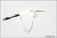 Great Egret (130514-1916) (Earl Reinink) Tags: ontario canada art nature photography nikon flickr photographer image images earl flikr egret d4 art nikon great photography images nature lens ontario canada ontbirds fine earl flight photographer lenses egret reinink reinink egret d4 niagara