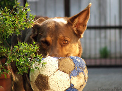 Brando Play (Mars.!) Tags: dog dogs cane cattle cani kelpie workingdog workingdogs australiankelpie australiandog
