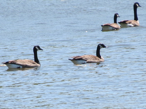 Canadian Geese - Missouri by SpeedyJR