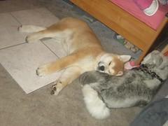 akita puppy cuddling with a plushie (Samurai-Akita) Tags: dog 3 cute japan puppy japanese sweet ken adorable hund month akita inu welpe süs monate