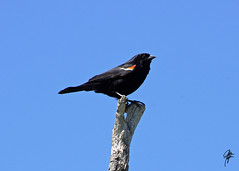 Red-winged blackbird (jcdriftwood) Tags: bird indianapolis indy indiana blackbird eaglecreek redwingedblackbird eaglecreekpark eaglecreekreservoir