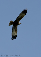Marsh Harrier (muppet1970) Tags: bird birdofprey harrier levington marshharrier