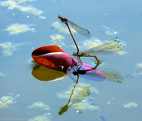 Pyrrhosoma nymphula / Large Red Damselfly