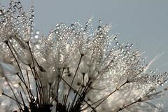 Decorated (gripspix) Tags: macro nature droplets drops natur dandelion dew tau makro lwenzahn pusteblume blowball trpfchen taraxacumofficinae 20130607