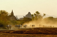 Returning From Pasture 6 (Artypixall) Tags: texture cattle burma getty myanmar dust bagan faa stupas herders