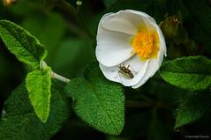 Jara negra (SantiMB.Photos) Tags: sal18250 vallvidrera primavera spring collserola flor flower chinche bug insecto insect cistus cistussalviifolius barcelona cataluña españa fotohiking