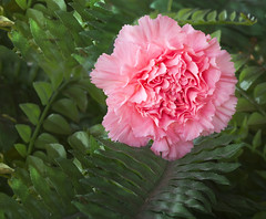 Pink Carnation (Largeguy1) Tags: pink fern fake approved carnation