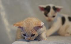 Two Other Devon Rex Kittens 2 (peter_hasselbom) Tags: cats cat kitten kittens lamplight devonrex 4weeksold 105mm twocats 2cats 2kittens