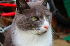 gata (kkkkeza) Tags: cat gato bonita gata meow miau cleopatra au