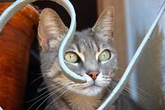 (Aurora Lupita) Tags: espaa cats animal animals cat chats spain chat gatos gato altea espagne beautifuleyes