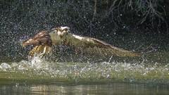 """Makin' a splash!""  Osprey IMG_6502 (ronzigler) Tags: portland maine raptor osprey fishingflight"