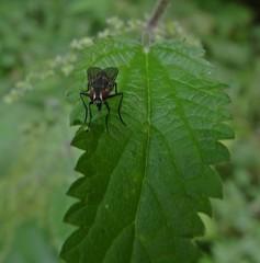 Some Kind Of Muscidae? (Bricheno) Tags: macro insect scotland fly leaf escocia szkocja renfrew schottland scozia cosse  esccia   bricheno scoia