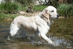 Rio (_Gaiezza_) Tags: dog pet rio pose golden agua buddy mascota