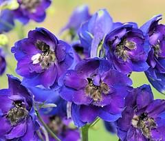 Purple Bush Flowers (Pat's Pics36) Tags: canada bush purple britishcolumbia twotoned bushflower harrisonmills nikond7000 rowenasinnontheriver nikkor18to200mmvrlens