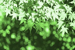 Leaves in the sunlight (Masa_N) Tags: summer sunlight green japan tokyo leaf maple bokeh