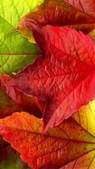 Autumn_Leaves_XXXL____by_MichiLauke (F El Mohdar) Tags: rot herbstblaetter