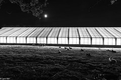 The Sheep and the Greenhouse (lars1387) Tags: longexposure autumn moon norway canon sheep greenhouse akershus 6d a