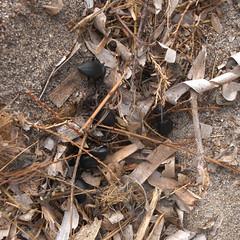 nest of beetles (the incredible how (intermitten.t)) Tags: espaa beetles menorca baleares minorca balearicislands illesbalears esgrau 17542 20131003